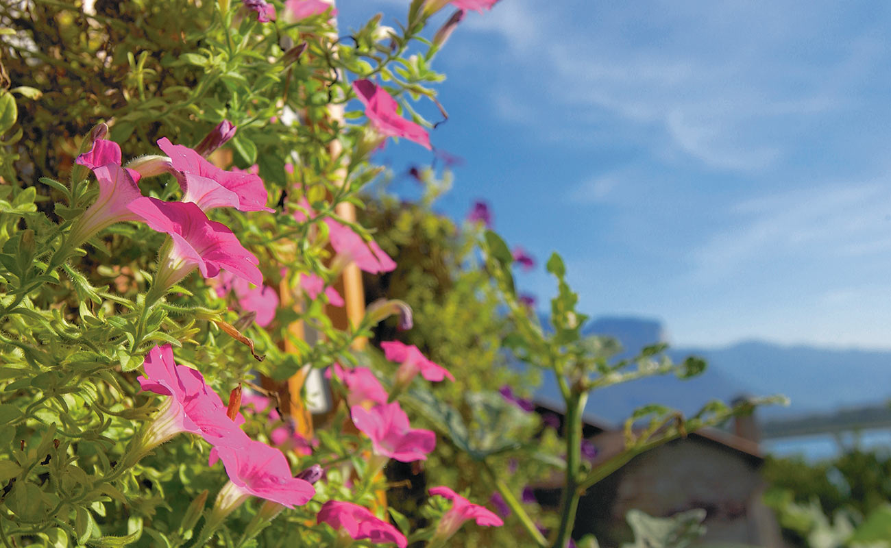 Close-up of flowers of petunia pink